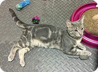 Domestic Shorthair Kitten for adoption in Troy, Michigan - Tommy