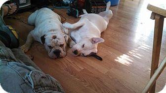 American Bulldog Dog for adoption in Dale, Indiana - Monty & Zelda