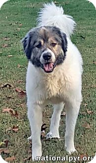 Great Pyrenees/Anatolian Shepherd Mix Dog for adoption in Beacon, New York - Beau in VA - pending