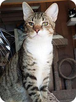 Domestic Shorthair Cat for adoption in Philadelphia, Pennsylvania - Ayden