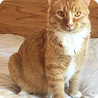 Domestic Shorthair Cat for adoption in Colorado Springs, Colorado - Esher