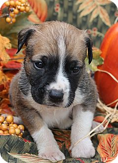 Boxer/German Shepherd Dog Mix Puppy for adoption in East Dover, Vermont - Frankie - PENDING
