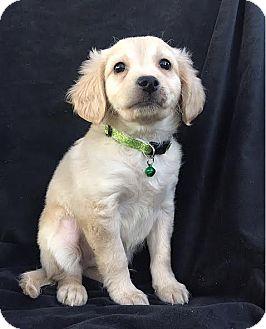 Cockapoo/Terrier (Unknown Type, Small) Mix Puppy for adoption in santa monica, California - Nemo