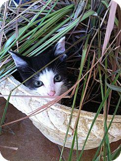 American Shorthair Kitten for adoption in Warner Robins, Georgia - Hazel