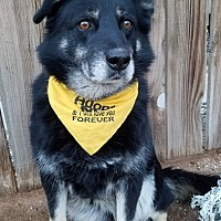 Siberian Husky/German Shepherd Dog Mix Dog for adoption in Apple Valley, California - Sierra