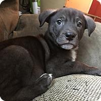 Adopt A Pet :: Ammo - Patterson, NY