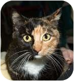 Domestic Shorthair Cat for adoption in Sacramento, California - Lu Lu