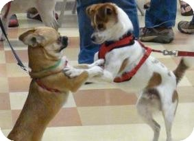 Jack Russell Terrier/Cavalier King Charles Spaniel Mix Dog for adoption in Grass Valley, California - Benito