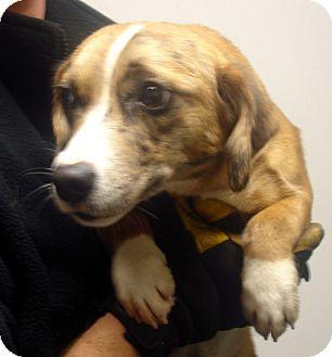 Beagle/Australian Shepherd Mix Dog for adoption in baltimore, Maryland - Cat Balou