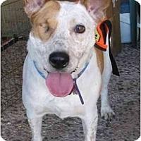 Adopt A Pet :: Cheyanne ADOPTION PENDING - Phoenix, AZ