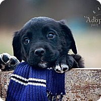 Adopt A Pet :: Lil' Bit - Albany, NY