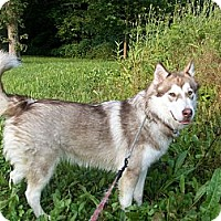 Adopt A Pet :: Greta - Augusta County, VA