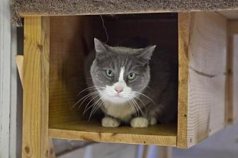 Domestic Shorthair Cat for adoption in Midway City, California - Andy