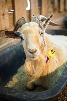 Goat for adoption in Roanoke, Virginia - Goats!