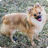 Adopt A Pet :: Scout - Miami, FL