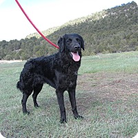 Adopt A Pet :: Bear - Ridgway, CO