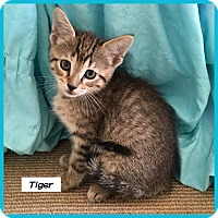 Adopt A Pet :: Tiger - Miami, FL