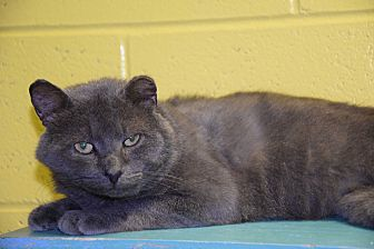 Domestic Shorthair Cat for adoption in Pottsville, Pennsylvania - Brut
