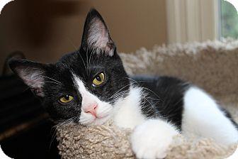 Domestic Shorthair Kitten for adoption in Huntsville, Alabama - Gizmo