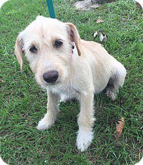 Terrier (Unknown Type, Medium)/Labrador Retriever Mix Puppy for adoption in Manchester, New Hampshire - Kiki