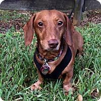 Dachshund Dog for adoption in Davie, Florida - Donovan