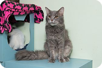 Maine Coon Cat for adoption in Chicago, Illinois - Dexter