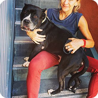 American Staffordshire Terrier Dog for adoption in Los Angeles, California - Leo*courtesy listing