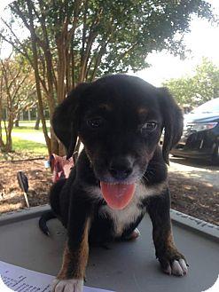 Beagle Mix Puppy for adoption in GREENLAWN, New York - Milo