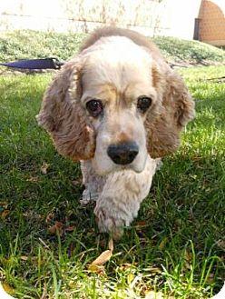 Cocker Spaniel Dog for adoption in Chicago, Illinois - Grimm