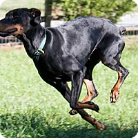 Doberman Pinscher Dog for adoption in Greensboro, North Carolina - SAYLOR
