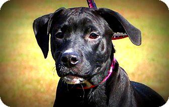 Labrador Retriever/Boxer Mix Puppy for adoption in Glastonbury, Connecticut - Hattie