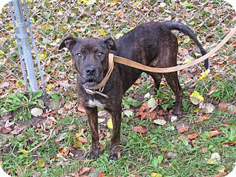 Staffordshire Bull Terrier Mix Dog for adoption in Reed City, Michigan - LIBERTY