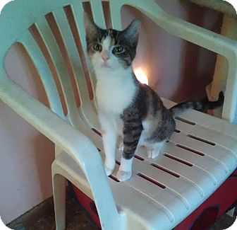 Calico Kitten for adoption in Montgomery, Illinois - Juno