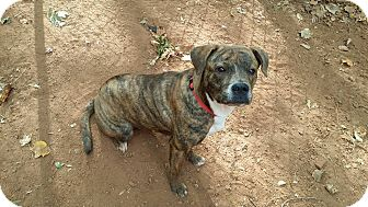 Mountain Cur Mix Dog for adoption in Lawrenceville, Georgia - Celine