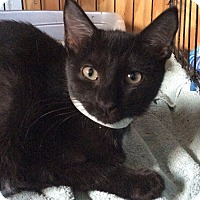 Adopt A Pet :: Beethoven - Breinigsville, PA