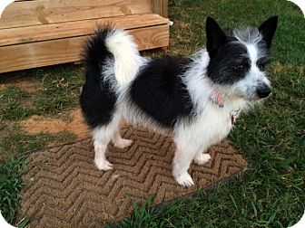 Sheltie, Shetland Sheepdog Mix Dog for adoption in Salisbury, North Carolina - Charlie