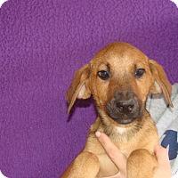 Labrador Retriever/Golden Retriever Mix Puppy for adoption in Oviedo, Florida - Wonton