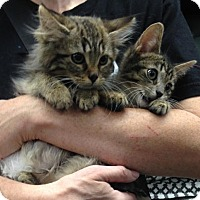 Adopt A Pet :: Bryne and Rand: Maine Coon mix kittens - Brooklyn, NY