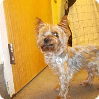 Yorkie, Yorkshire Terrier Mix Dog for adoption in Upper Marlboro, Maryland - COCOA