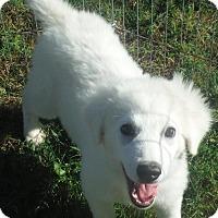 Adopt A Pet :: Pyrenees Coming - Alpharetta, GA