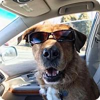Adopt A Pet :: Cearra - Independence, MO