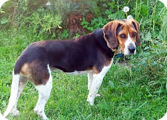 Beagle Dog for adoption in Pittsburgh, Pennsylvania - Cale