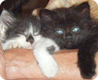 Domestic Mediumhair Kitten for adoption in Kensington, Maryland - Gomer & Guppy