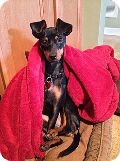 Miniature Pinscher Dog for adoption in Nashville, Tennessee - Sabrina