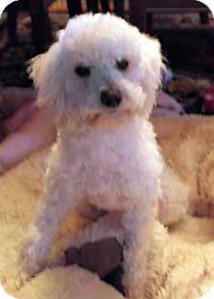 Poodle (Miniature) Mix Dog for adoption in Thousand Oaks, California - Jethro