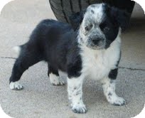 Border Collie Mix Puppy for adoption in Allentown, Pennsylvania - Ella