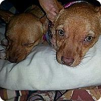 Adopt A Pet :: Praline - East Rockaway, NY