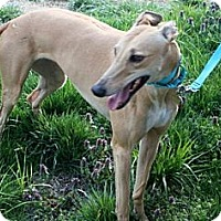 Adopt A Pet :: Laila (Atascocita Laila) - Louisville, KY