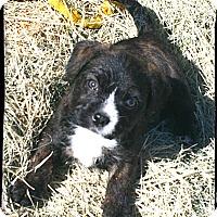 Adopt A Pet :: Gunner - Johnson City, TX