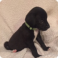 Adopt A Pet :: Mary - Lewisville, IN
